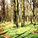 Buchenwald im Frühjahr auf Rügen